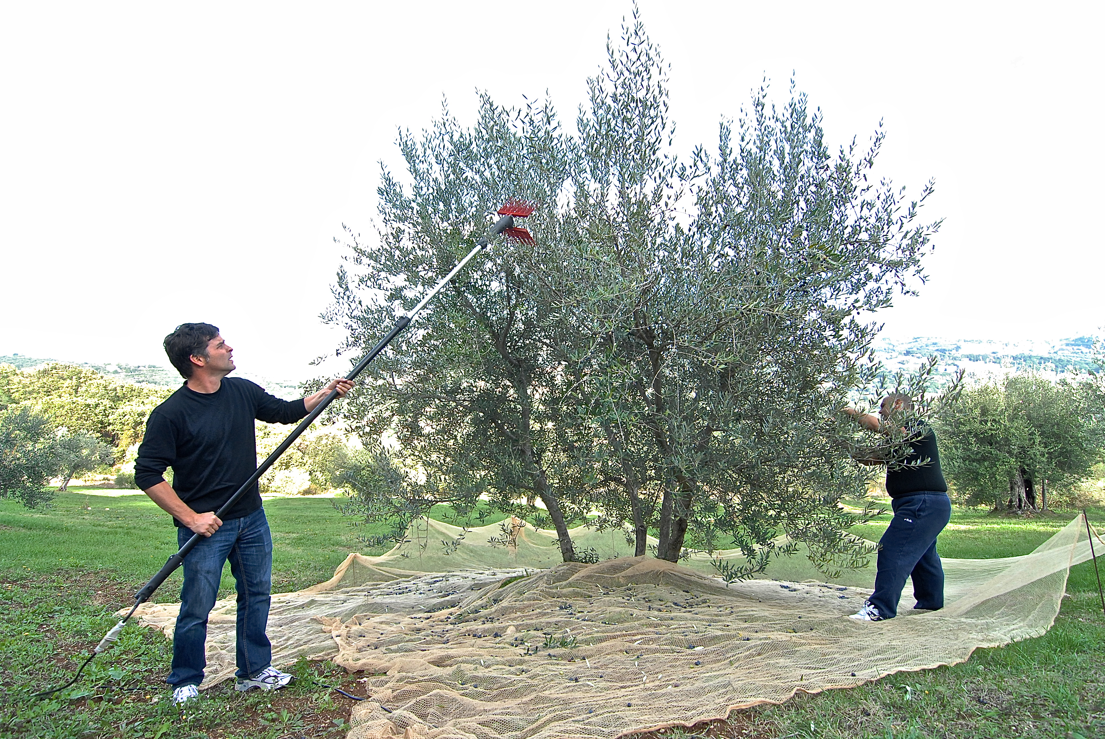 Olive Harvest | one year in perugia
